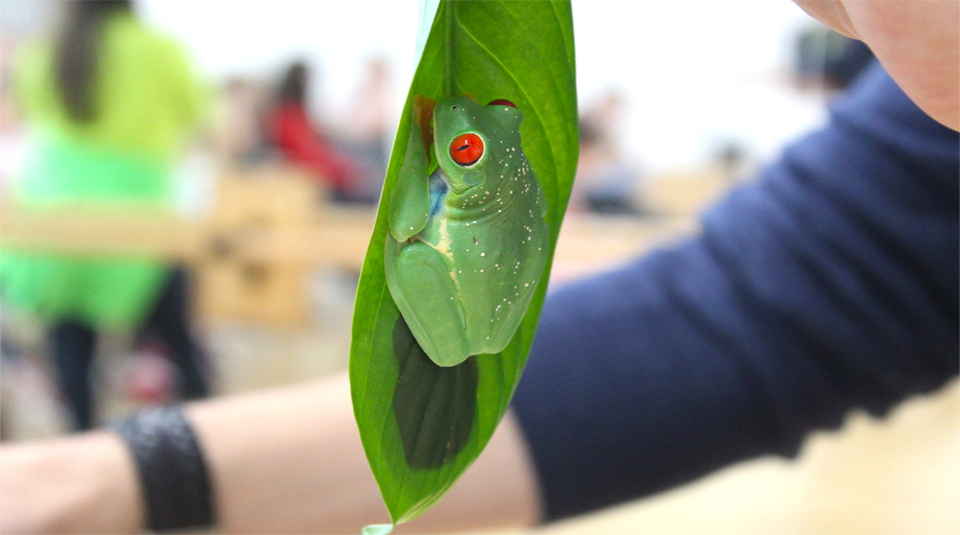 Red Eyed Tree Frog courtesy of Manchester Museum © Andrew Gray