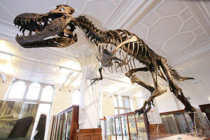 Manchester Museum T.Rex